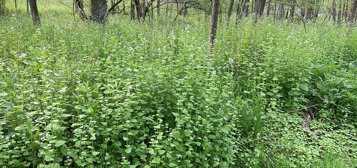 flowering garlic mustard weed
