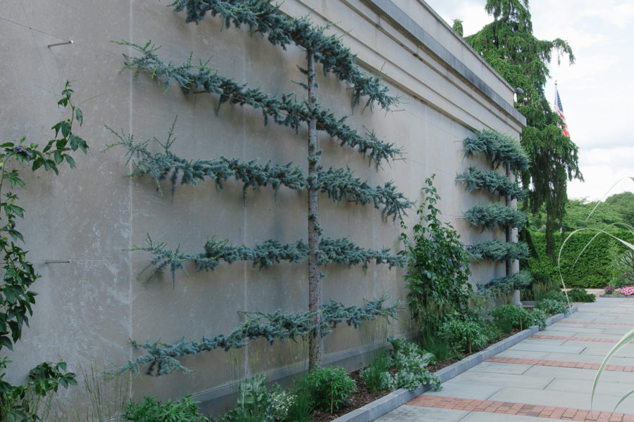 evergreen espalier
