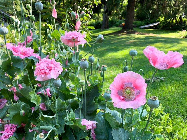 bread seed poppies