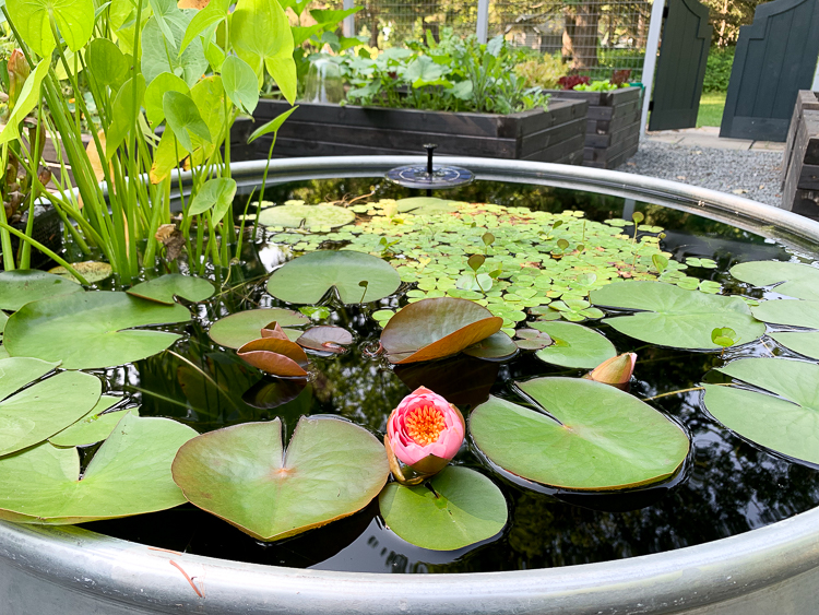 water lily in container pond