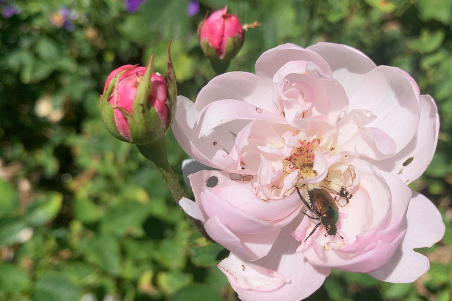 Japanese beetle in rose