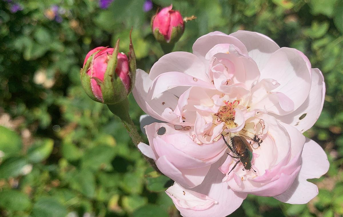 Japanese beetle in rose