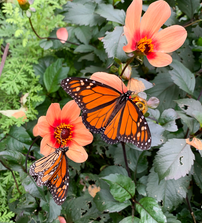 HS Date dahlia with monarchs