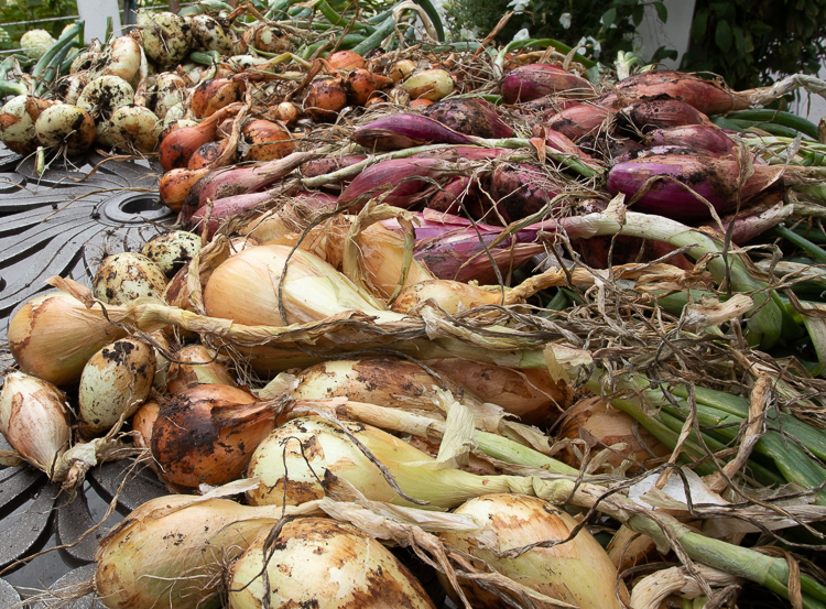 'Alisa Craig' onion