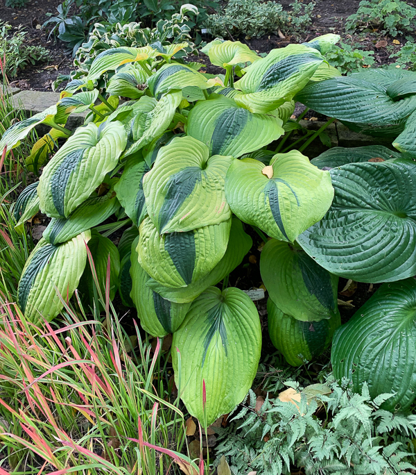 'Goodness Gracious' hosta