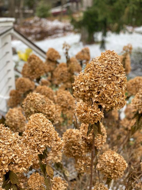 fall limelight flowers