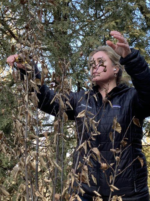 hornbeam pruning