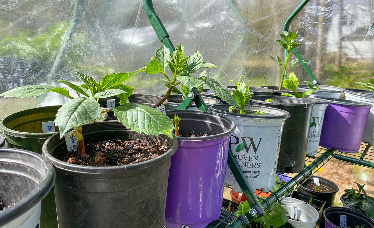 2 Ways To Plant Dahlias The Impatient Gardener
