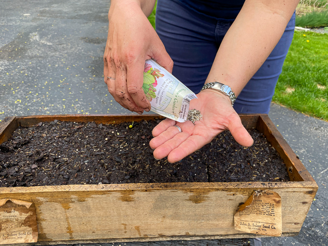 Sowing lettuce seeds in container