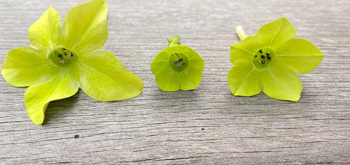 Three nicotiana flowers