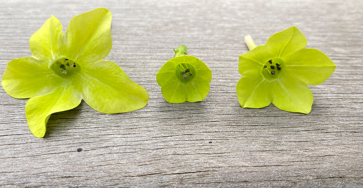 Three nicotiana flowers