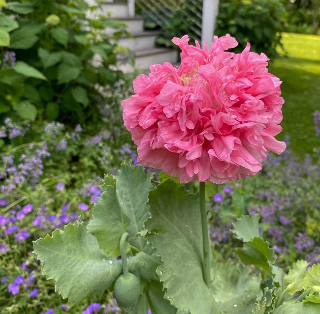 Double pink poppy