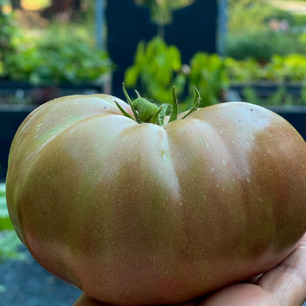 Large Brandyfred tomato in hand