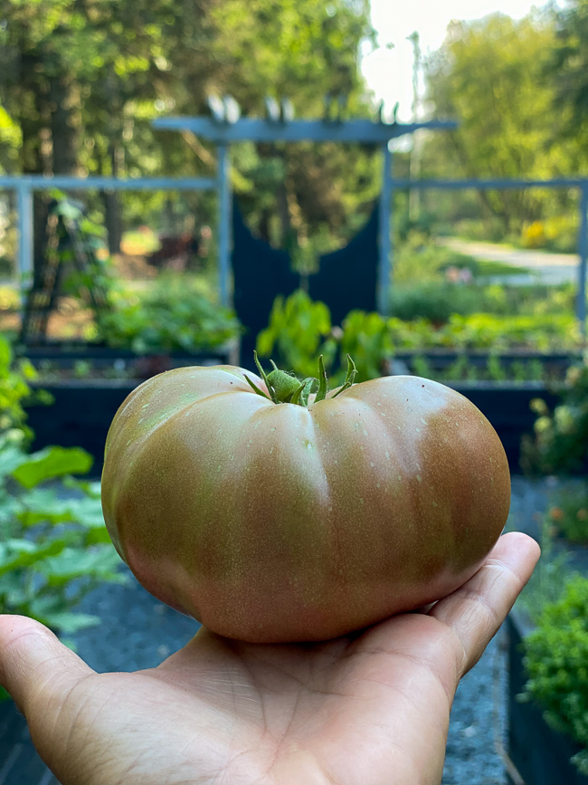 large tomato just picked to be ripened on a windowsill