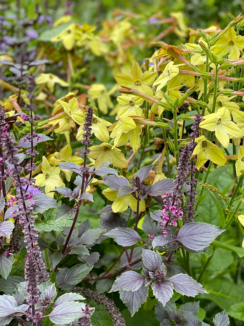 Wild magic purple basil planted with Nicotiana Antique Perfume Lime, with yellow-green flowers with red undersides.