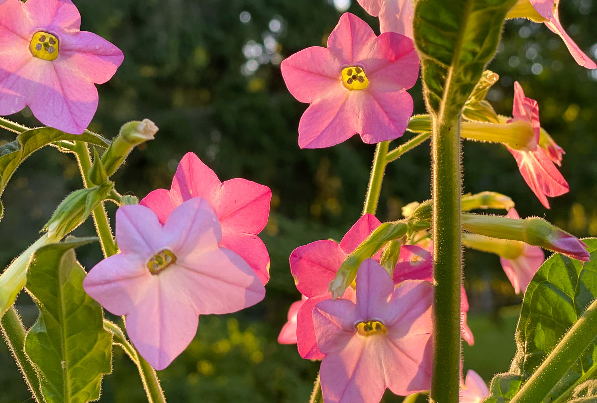 pink nicotiana flowers backlit during the golden hour