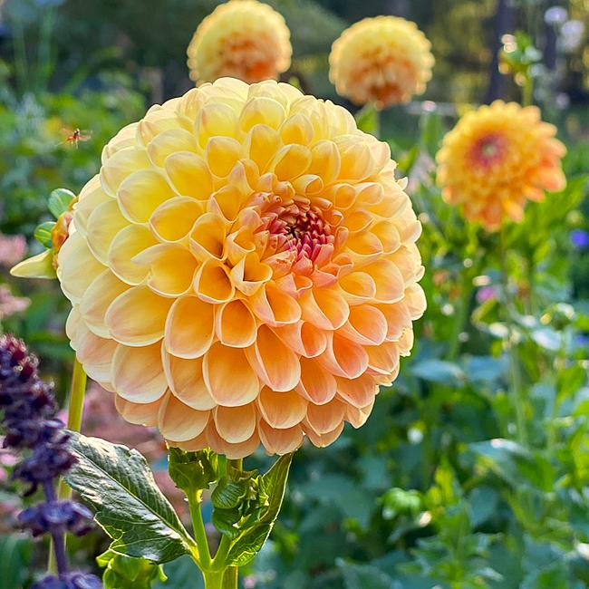 crichton honey ball dahlia