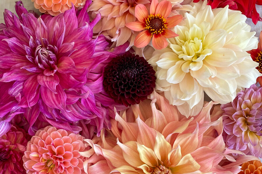 group of dahlias