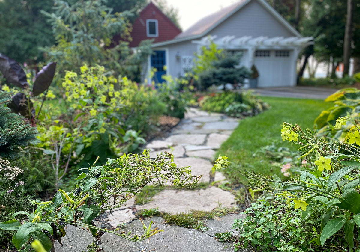 Nicotiana plants bending over stone garden path