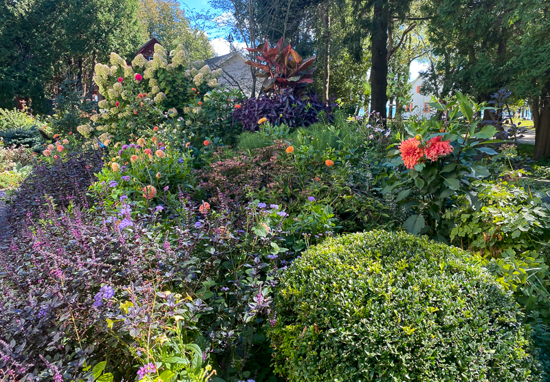 garden with boxwood, dahlias, hydrangea