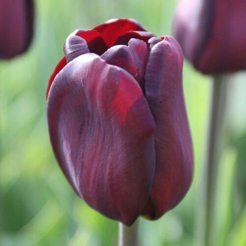 Continental tulip
