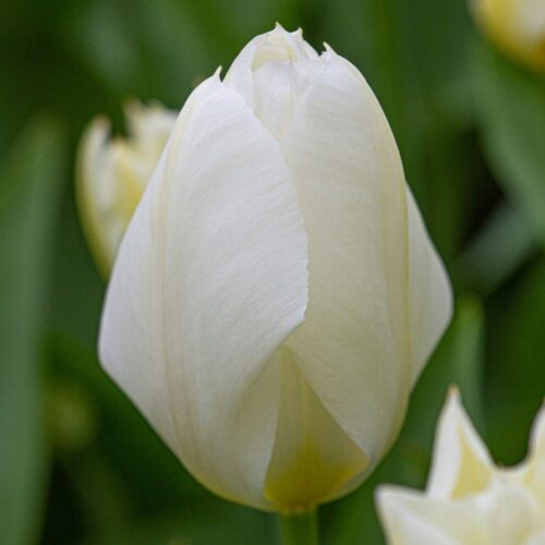 Emperor White tulip