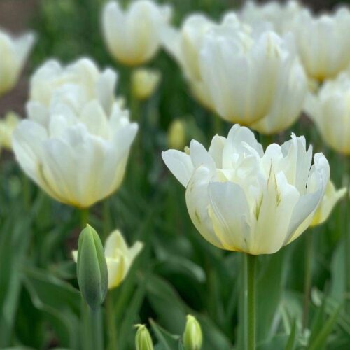 Exotic Emperor tulip