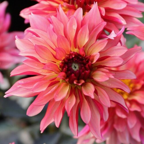 Gallery Art Deco dahlia