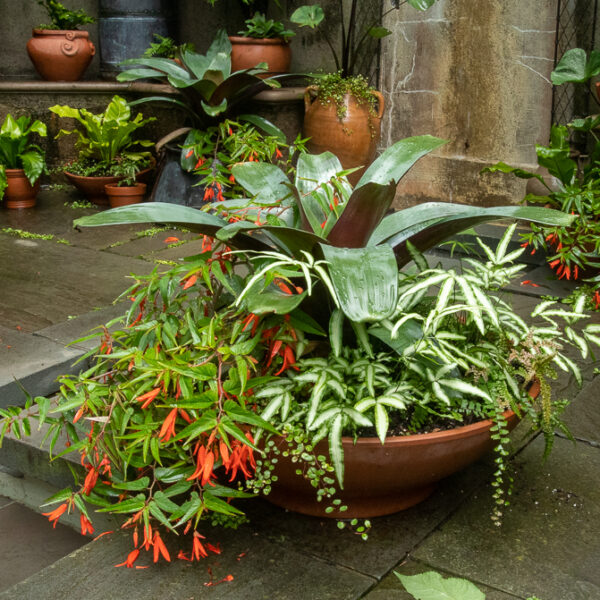 wide low planter begonia