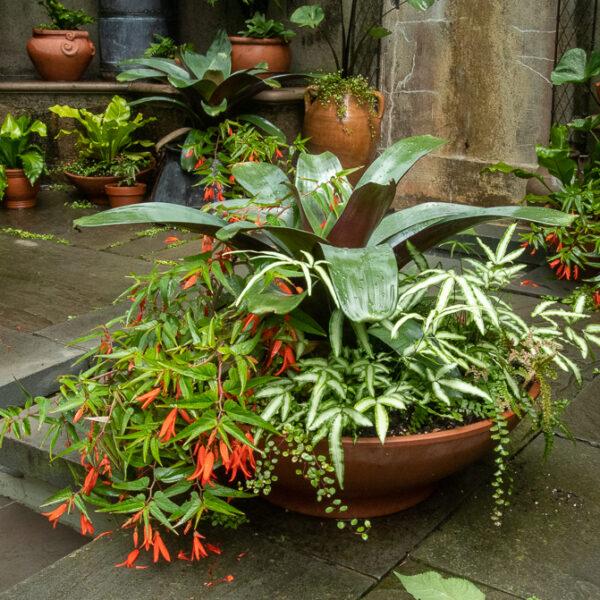 wide low planter begonia