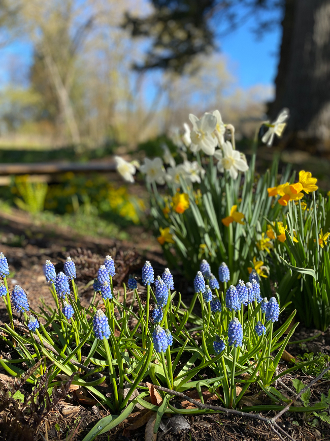 muscari and daffodils planted together