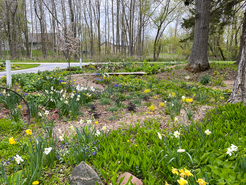 garden planted with daffodils
