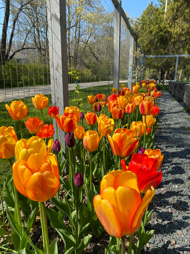 tulips planted inside fence