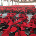 Poinsettias in every color; even blue